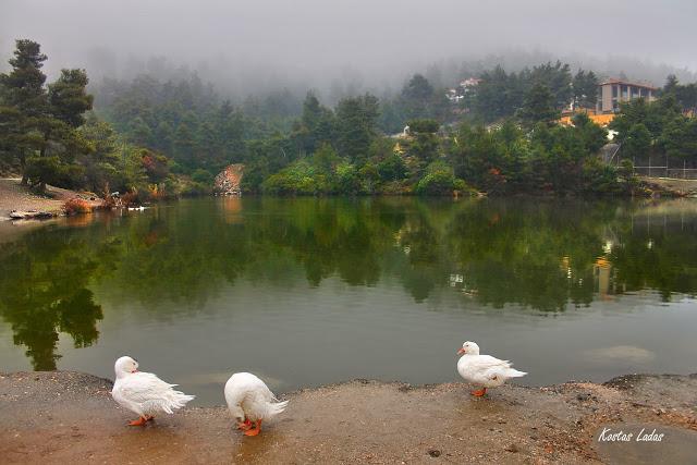 κυκνος,παπια ,χειμωνας ,ομιχλη ,βροχή Κώστας Λαδάς